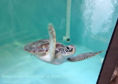 Crab Face  green turtle in rehab