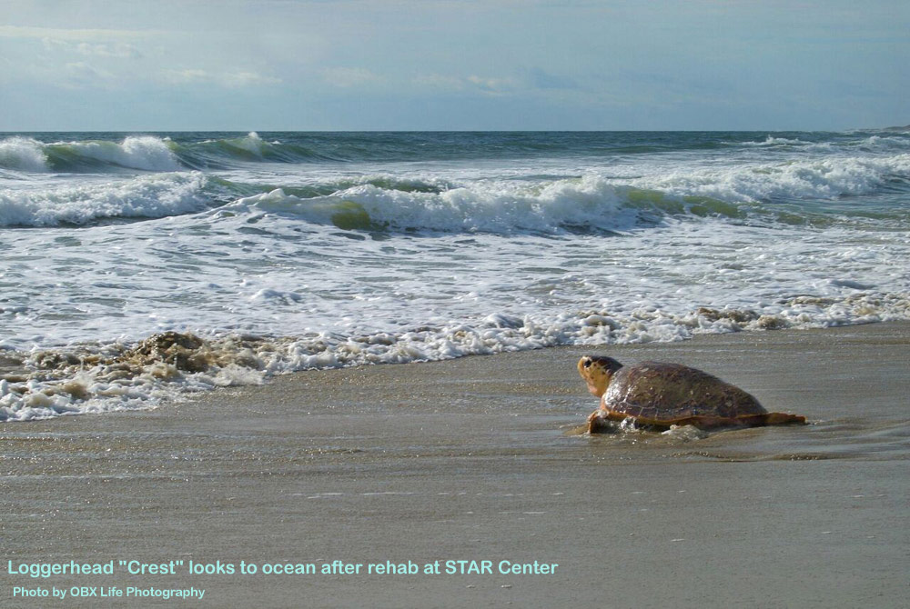 "Loggerhead ""Crest"" looks to ocean after rehab at STAR Center"