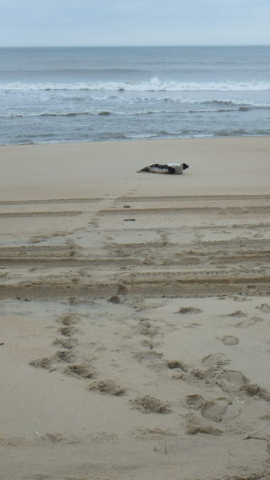 A Harp Seal Makes A Visit To The Outer Banks Network For Endangered Sea Turtles